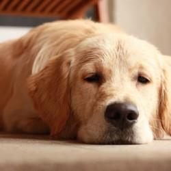 Kutyákat öldös a golopi polgármester