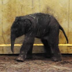 Elefántbébi született a Budapesti Állatkertben