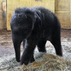 Veszélyben van a budapesti kiselefánt