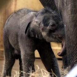 Asha lett a budapesti kiselefánt neve