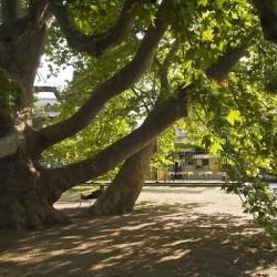Egri platán lett az év fája Európában