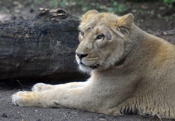 indiai-oroszlan